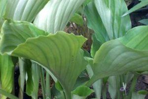Black Galingale plant